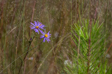 Wild Blue Asters (Wildflowers ...