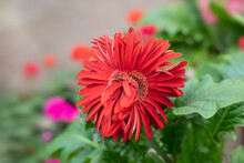 Unusual Flower Red Gerbera Blossom, Siamese Twins In Botany. Two Grown Together Flowers Of Garden Gerbera