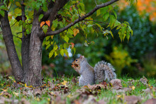 Furry Eastern Gray Squirrel (s...