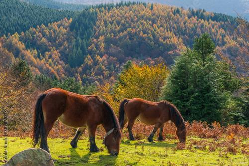 Escena de dos caballos al sol durante el Otoño Canvas