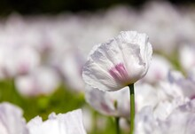 Poppy Flower, Opium Poppy In L...