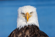 American Bald Eagle Blue Background