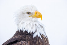 Portrait Of A American Bald Eagle With White Background