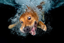 Golden Retriever Dog Swimming ...