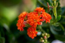 Orange Flower Clivia Miniata In The Garden