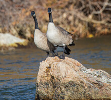 Geese On A Rock In The River