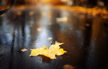 A Single Yellow Maple Leaf Lie...