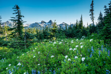 Beautiful Wildflowers In Mt. Rainier National Park In Washington State