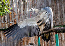Wild Bird Scavenger On A Branc...