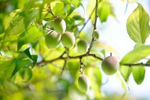 梅林の果実
