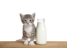 Adorable Gray And White Kitten Sitting On A Wood Table Next To A Kitty Sized Bottle Of Milk. Kitten Looking Directly At Viewer.