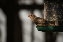 Male House Finch Observes His Surroundings While Perched On A Birdfeeder