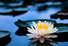 Beautiful  Thai Lotus That Hav...
