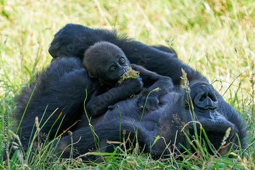 Fotomural Western lowland gorilla (Gorilla gorilla gorilla)