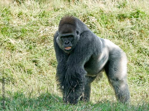 Fotografie, Obraz Western lowland gorilla (Gorilla gorilla gorilla)