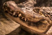 Head Of A Large Crocodile Clos...