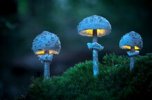 Macro Photo Of Three Glowing Mushrooms In The Early Evening Forest, Moss In The Foreground, Fern Leaf In The Background (Macrolepiota Procera)