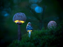 Macro Photo Of Two Glowing Mushrooms In The Forest, Moss In The Foreground,twigin The Background (Macrolepiota Procera)