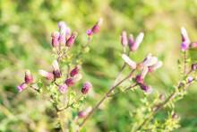 Not Yet Blooming Purple Cornfl...