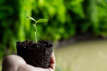 Small Plant Of Cannabis Seedli...