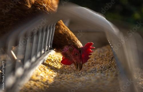 Fotografía rooster on the farm