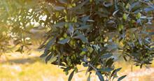 Olive Per L'olio Sugli Alberi All'alba