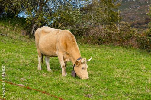 Vacas, atentas y disfrutando del pasto en un prado de cantabria Fotobehang