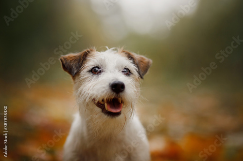 Obraz dog in yellow leaves. Happy jack russell terrier in nature in autumn park.  - fototapety do salonu