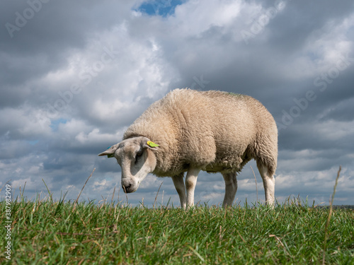 Sheep in the polder of Eemnes, meadow in the Netherlands Fototapeta