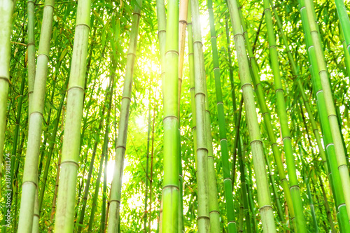 Bamboo forest and thickets with the bright light of the sun, look at the top green eco texture.