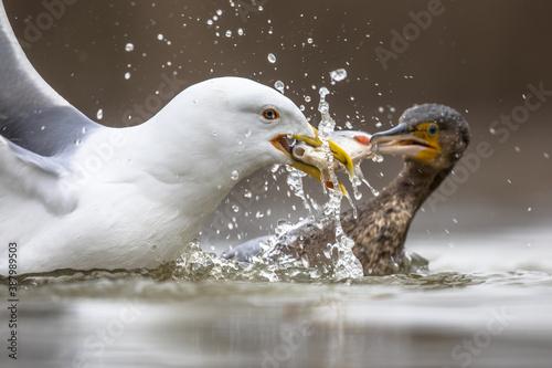 Canvastavla Gul and Cormorant fighting over fish