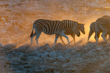 Burchells Zebras Walking At Su...