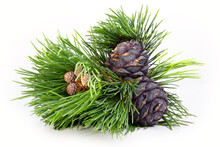 Branches And Mature Cones Of S...