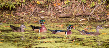 Two Pairs Of Wood Ducks