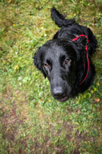 Portrait Of A Handsome Flat Coated Retriever
