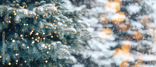 Fototapeta Christmas tree without decorations outdoor in park with bokeh, beautiful blue spruce snow fall obraz