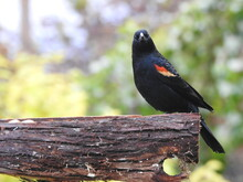 A Red-winged Blackbird In Aut...