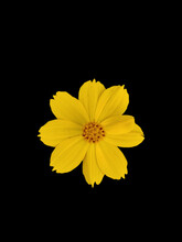 Yellow Colour Sulfur Cosmos Flower