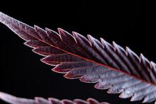 Cannabis Marijuana Leaf Background On Black Background