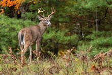 Large Buck Whitetail Deer With Large Antlers In Rut