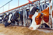 Milking Cows Eating Hay In An ...