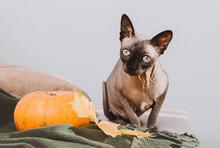 Cute Bald Cat On A Beige Sofa ...