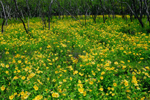 Spreading Yellow Flowered Wede...