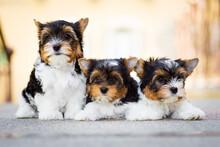 Three Yorkshire Terrier Puppy ...