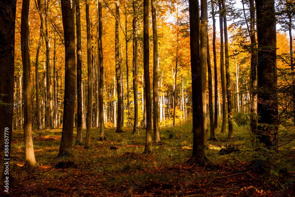 Fototapeta Las jesień drzewa bory park buki olchy światło cień złota pora roku żółty pomarańczowy jesienią spacer polska