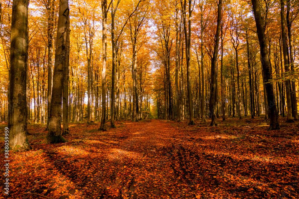 Fototapeta Las droga jesień drzewa bory park buki olchy światło cień złota pora roku żółty pomarańczowy jesienią spacer polska