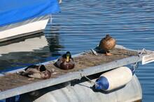 Ducks On The Pier