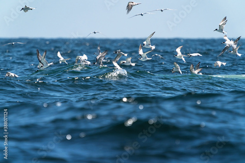 Fotografia Seagulls flying on top before Whale bruda feed on a wide variety of fish with in