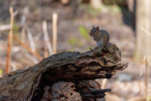 A Cute Chipmunk Stands Perched On Top Of An Old Log In The Forest Of Marie Curtis Park In Toronto (Etobicoke), Ontario On A Beautiful Sunny Day In The Late Afternoon.