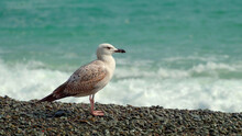 A Young Seagull Stands On The ...
